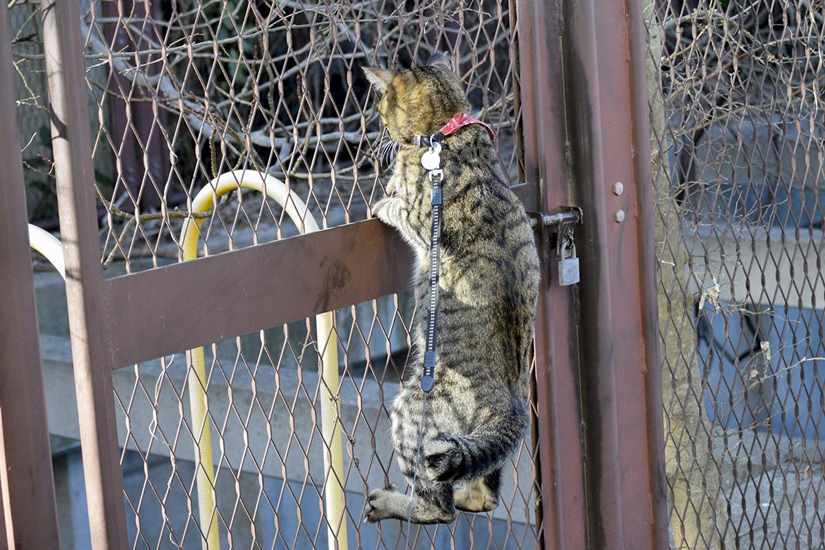 フェンスによじ登るキジトラ猫の虎ノ介