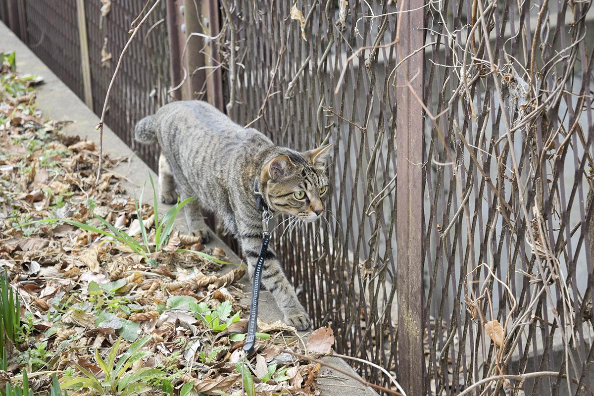 お散歩中のキジトラ猫の虎ノ介