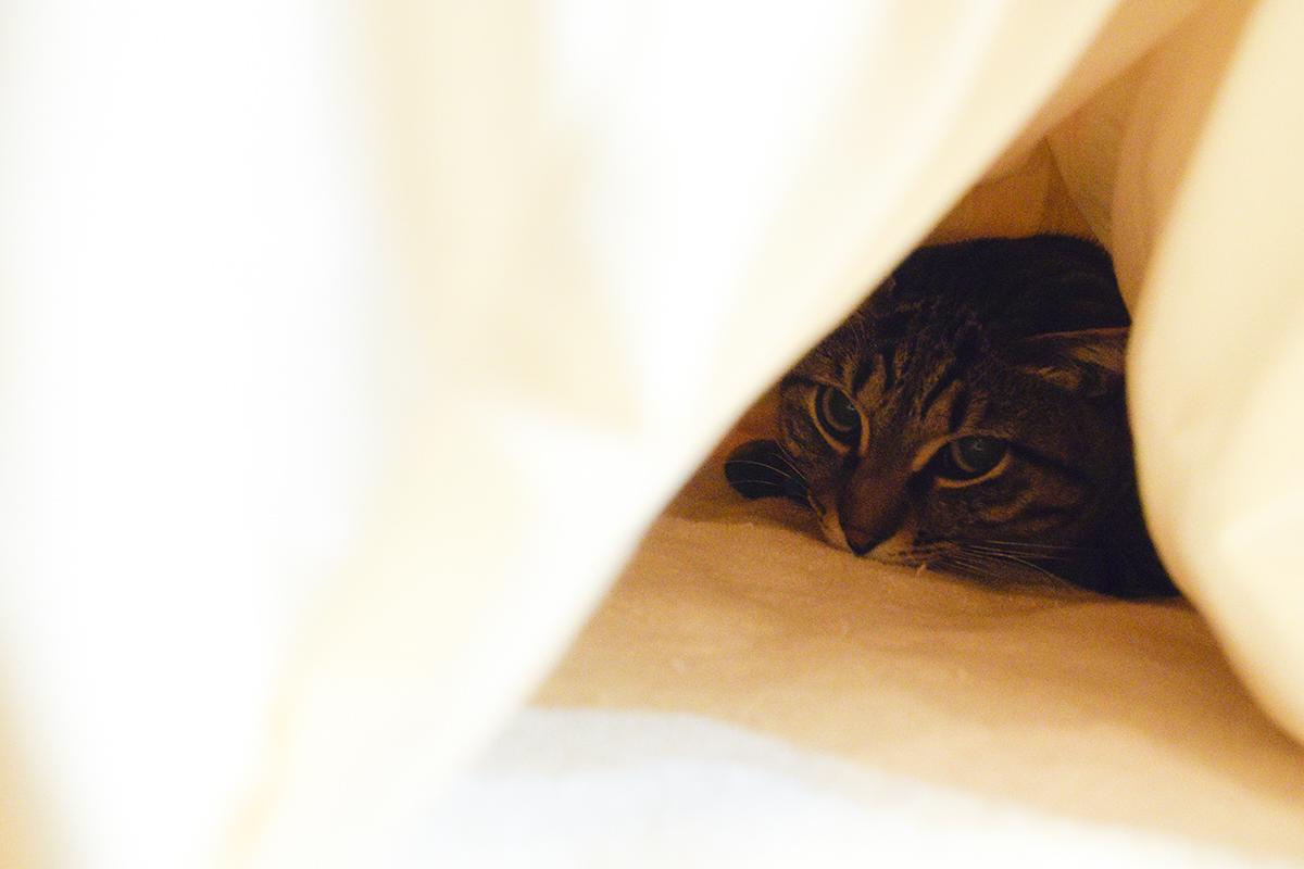 お布団にもぐるキジトラ猫の虎ノ介