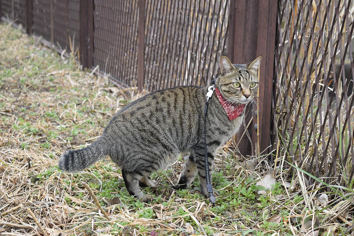 外で鳥を眺めるキジトラ猫の虎ノ介