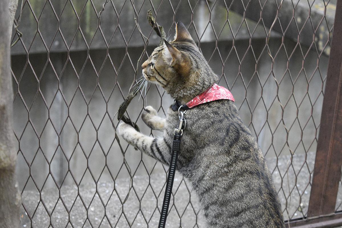 フェンスに巻き付いた枝に反応するキジトラ猫の虎ノ介