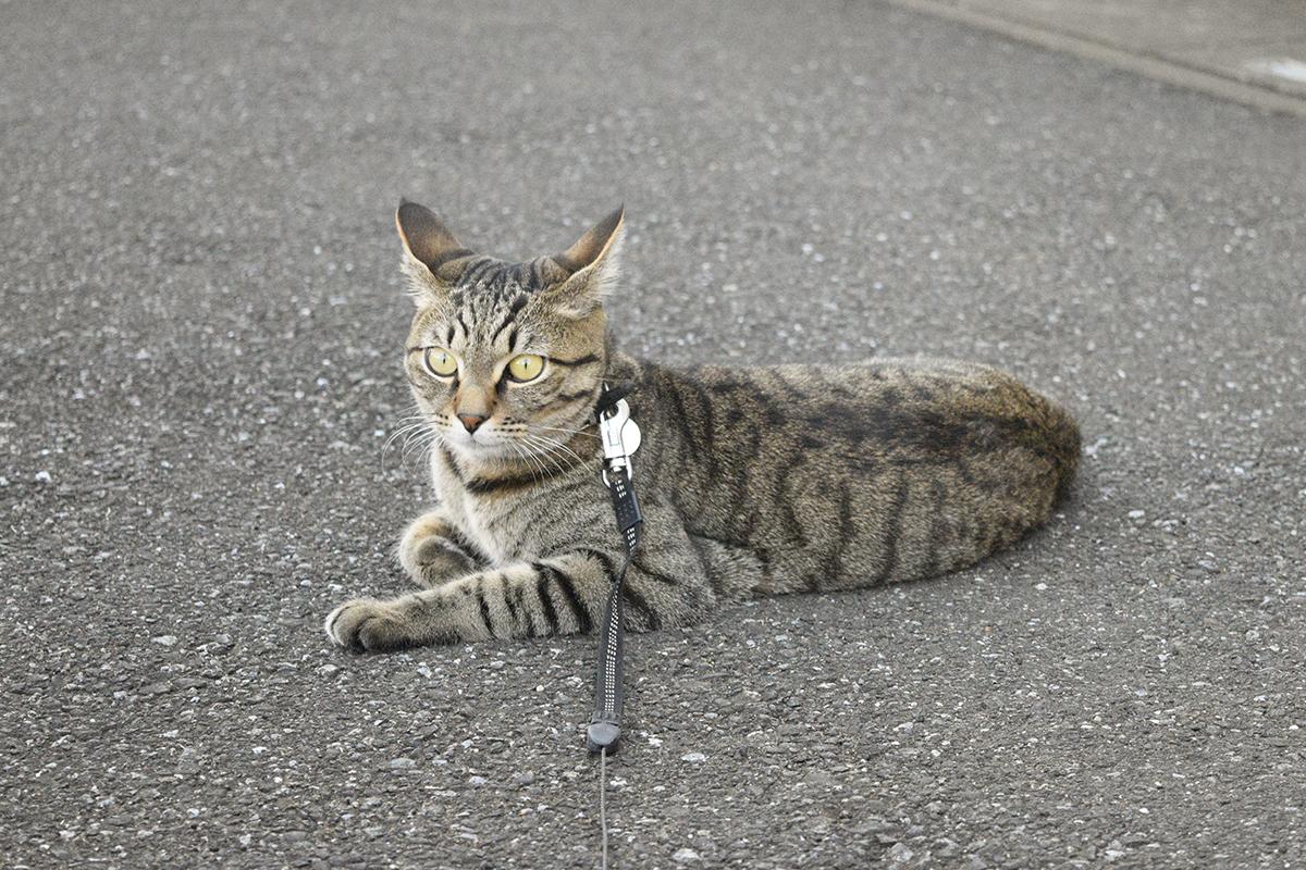 歩道で動かなくなるキジトラ猫の虎ノ介