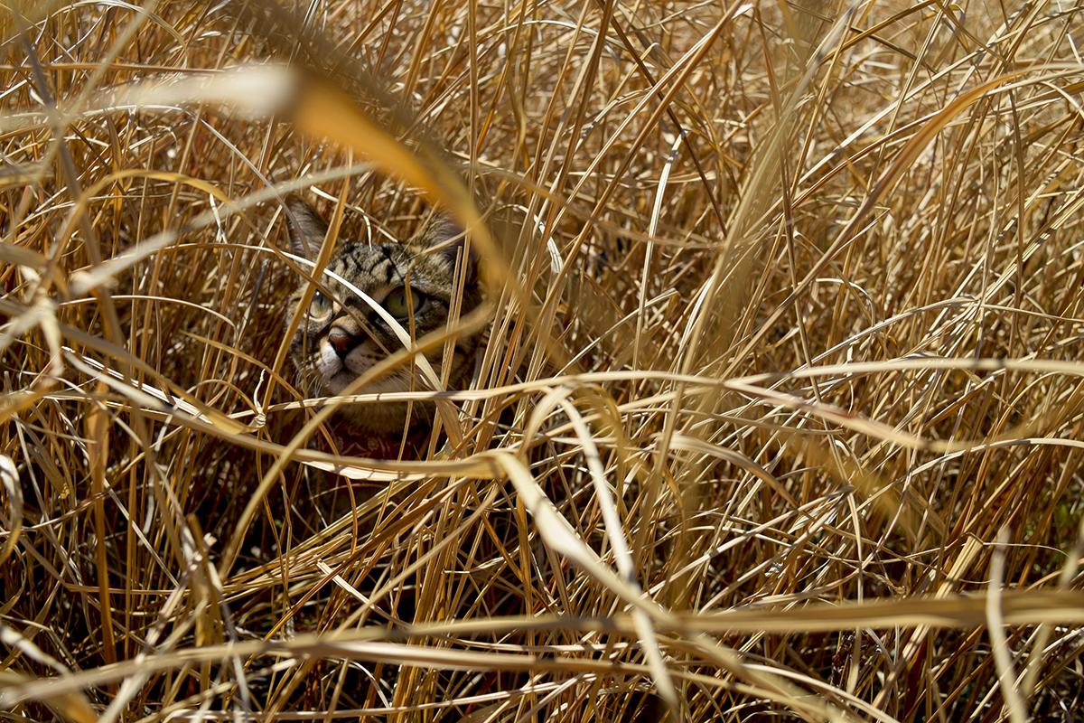 草むらからでてこないキジトラ猫の虎ノ介
