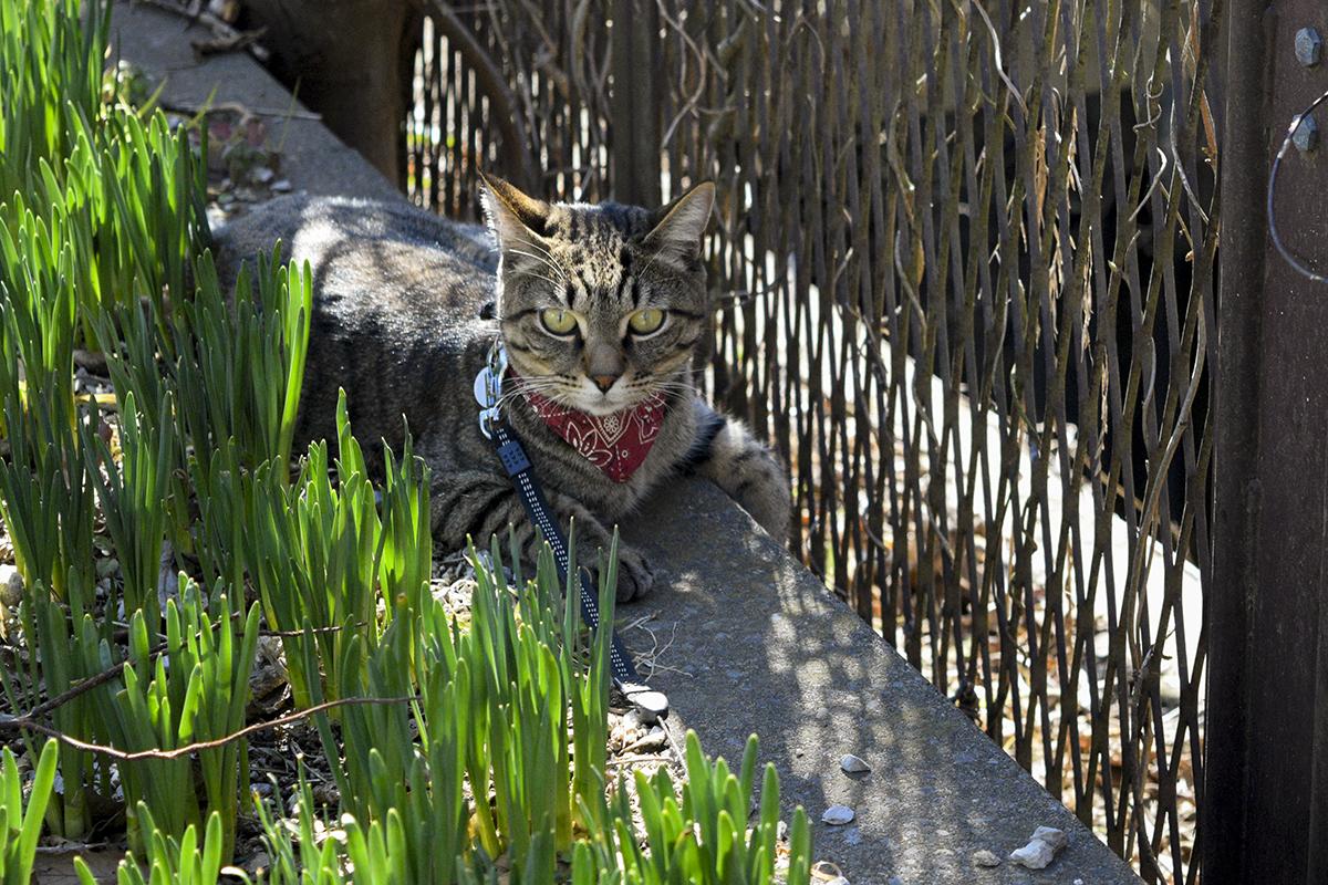 しがみついて離れないキジトラ猫の虎ノ介