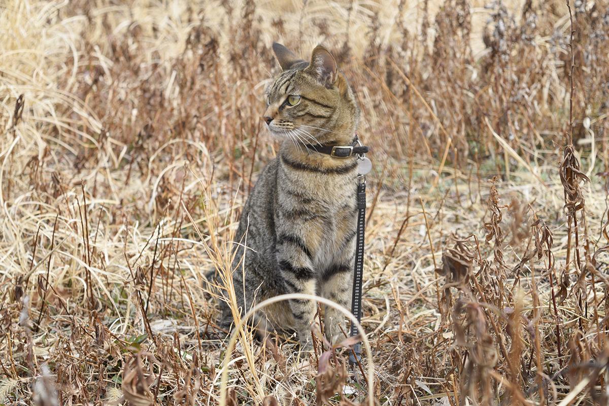 草むらにいるキジトラ猫の虎ノ介