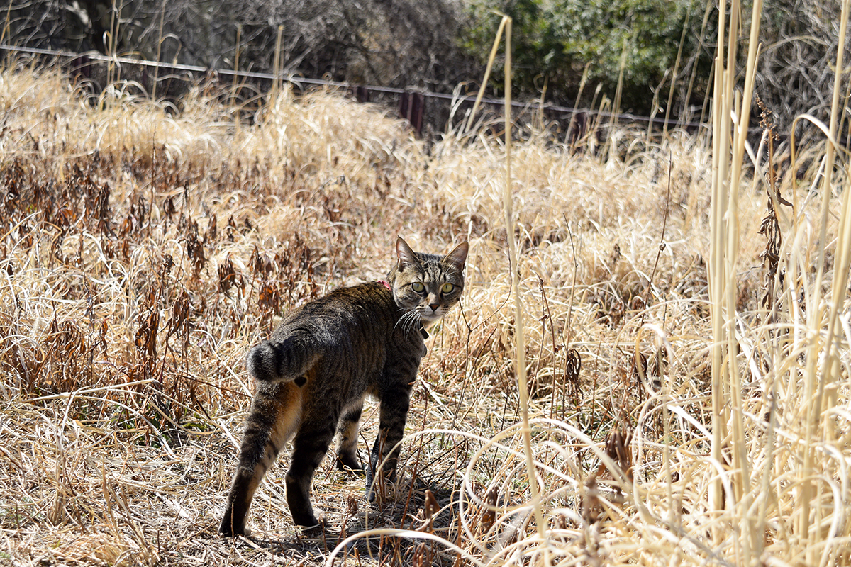 草むらを立ち去るキジトラ猫の虎ノ介