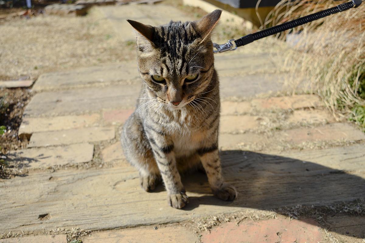 捕まってふてくされるキジトラ猫の虎ノ介