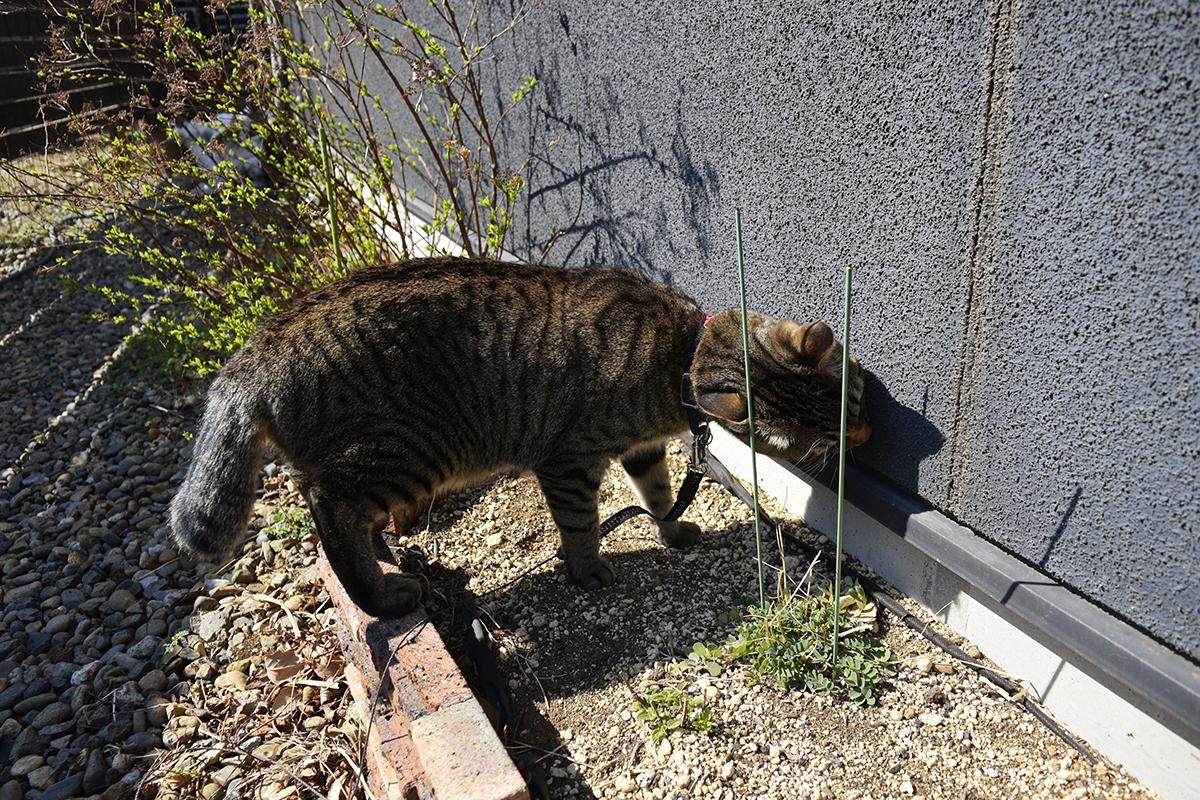 壁の匂いを嗅ぐキジトラ猫の虎ノ介