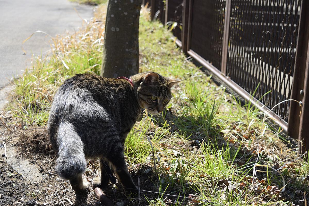 虫を捕まえながら移動するキジトラ猫の虎ノ介