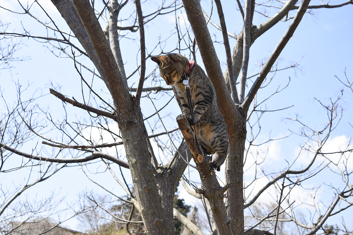 木の上に登るキジトラ猫の虎ノ介