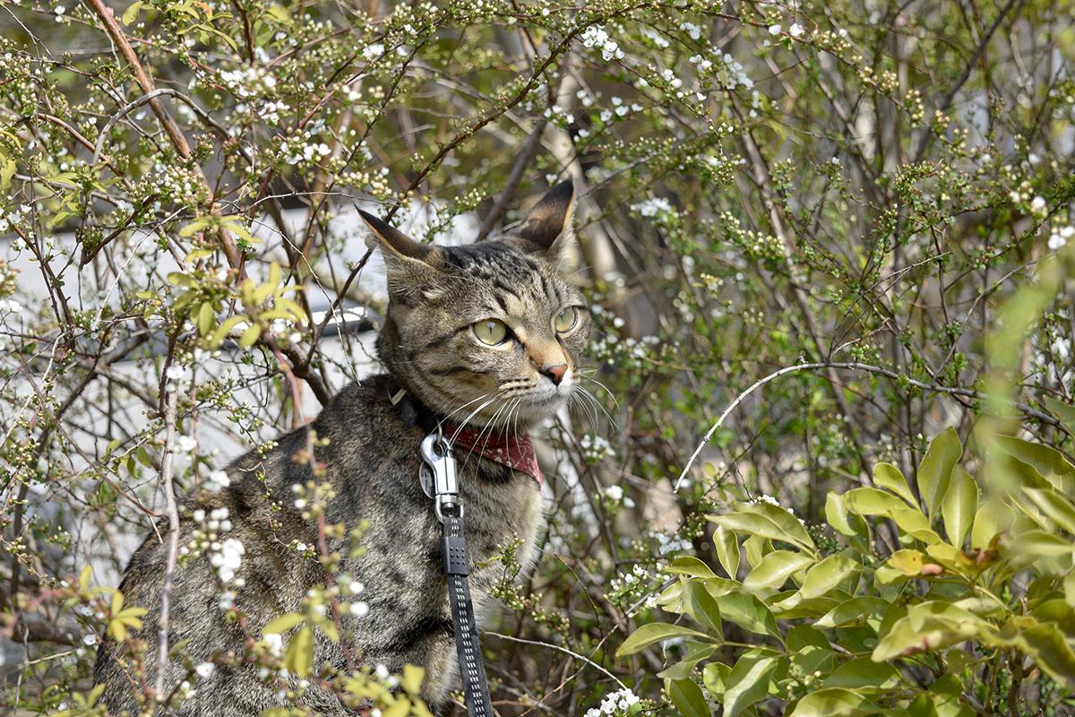 雪柳の中にはいるキジトラ猫の虎ノ介