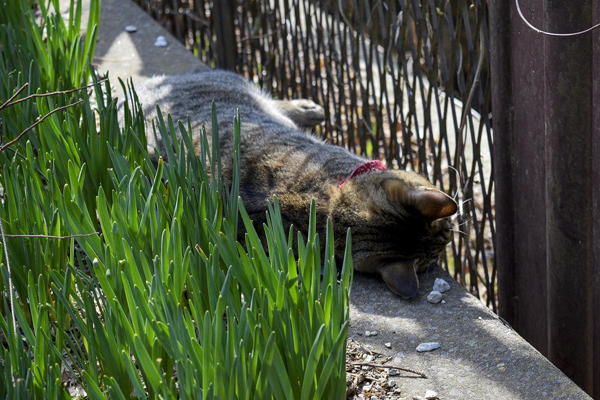 道で昼寝をするキジトラ猫の虎ノ介