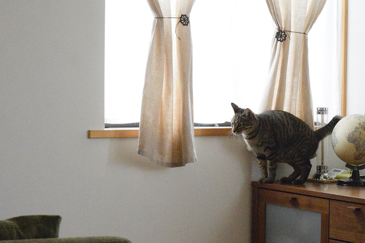 ボールをおいかけるふりをしてテレビボードにあがるキジトラ猫の虎ノ介