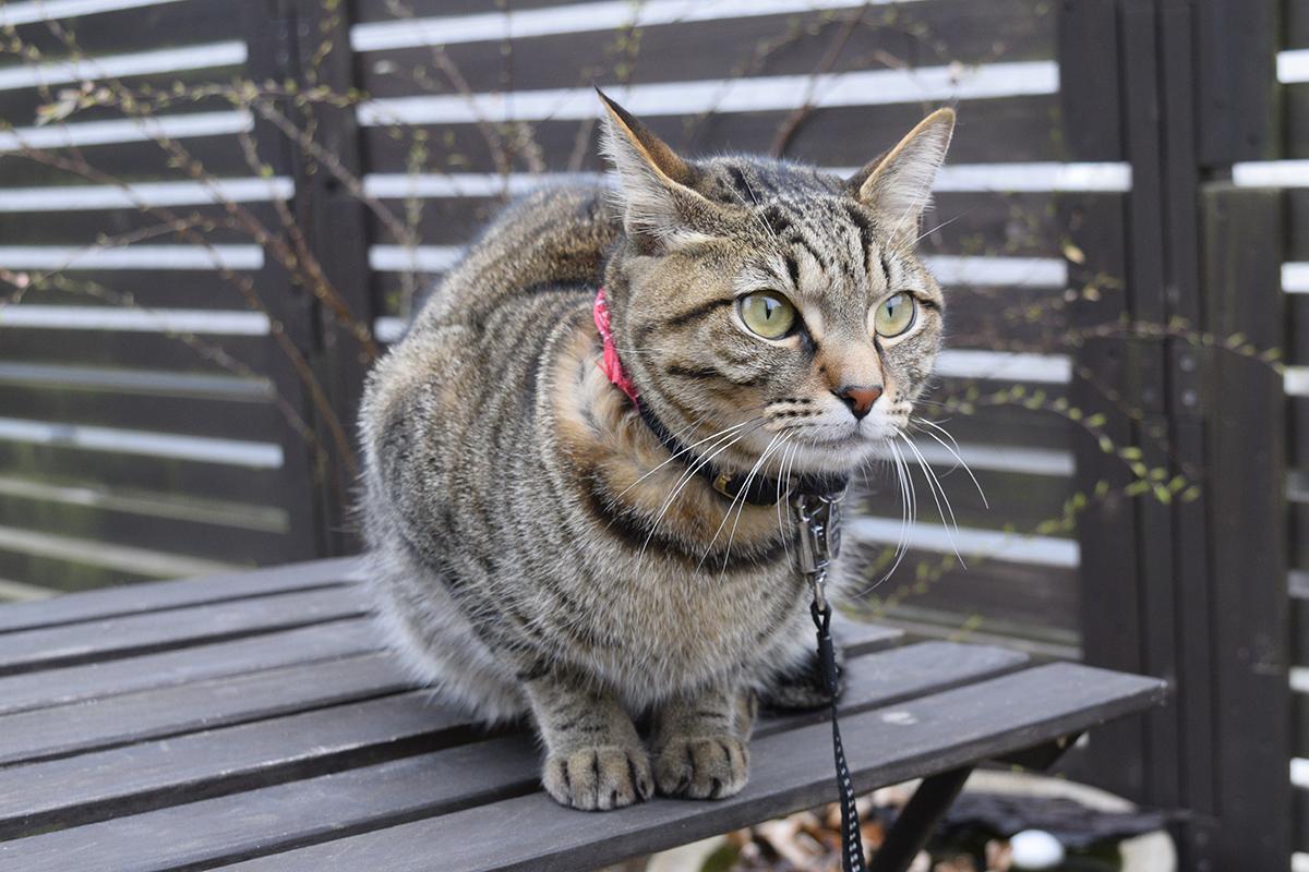 外にでたキジトラ猫の虎ノ介