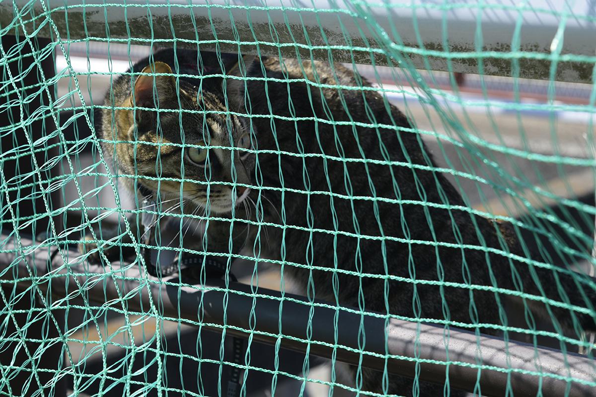 ガードレールしたにはられた網の向こうのキジトラ猫の虎ノ介