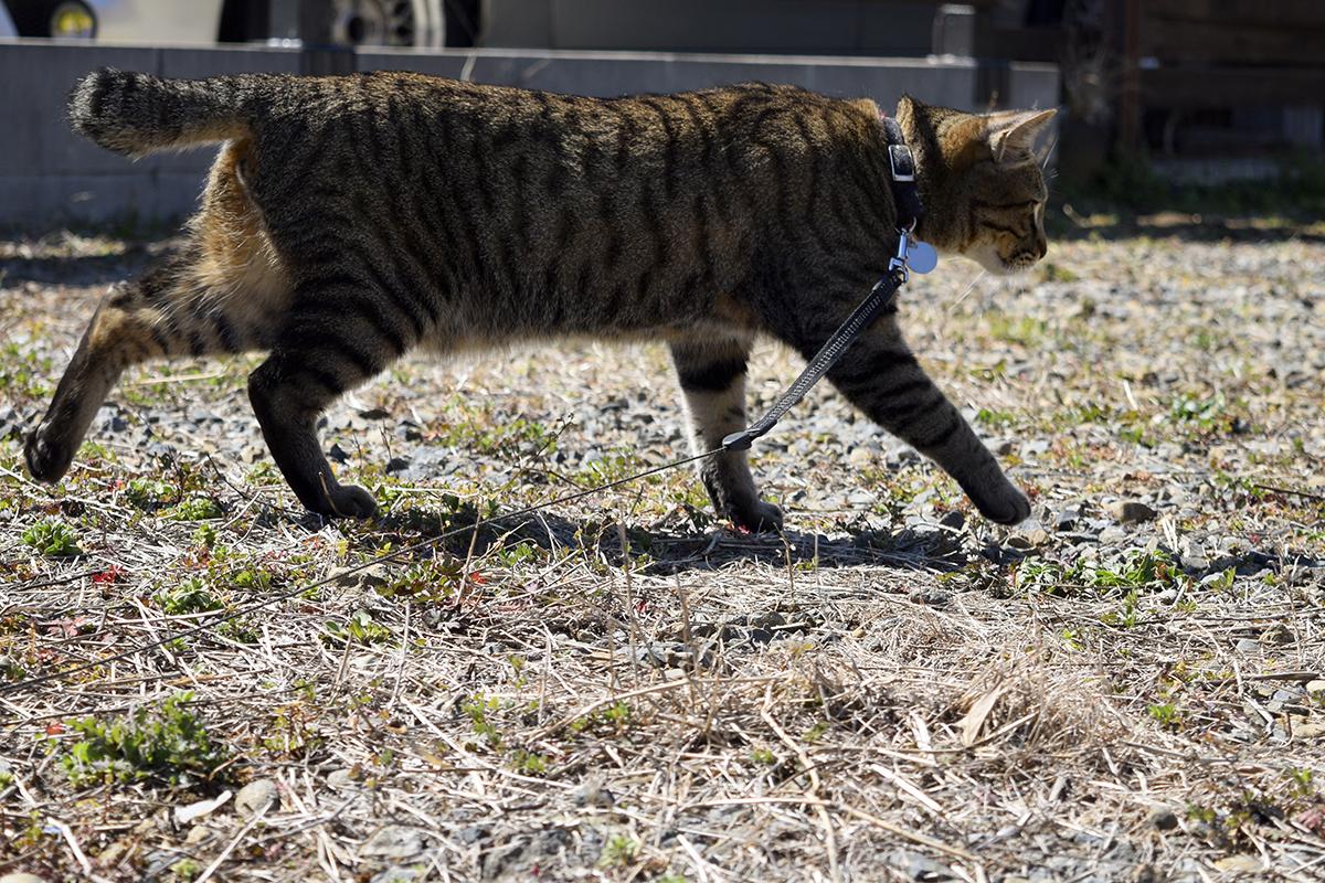 空き地で遊ぶキジトラ猫の虎ノ介