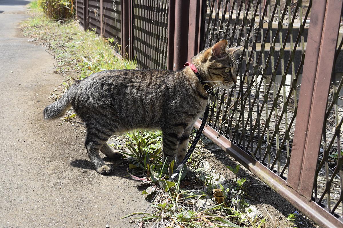 水浴びする鳥を眺めるキジトラ猫の虎ノ介