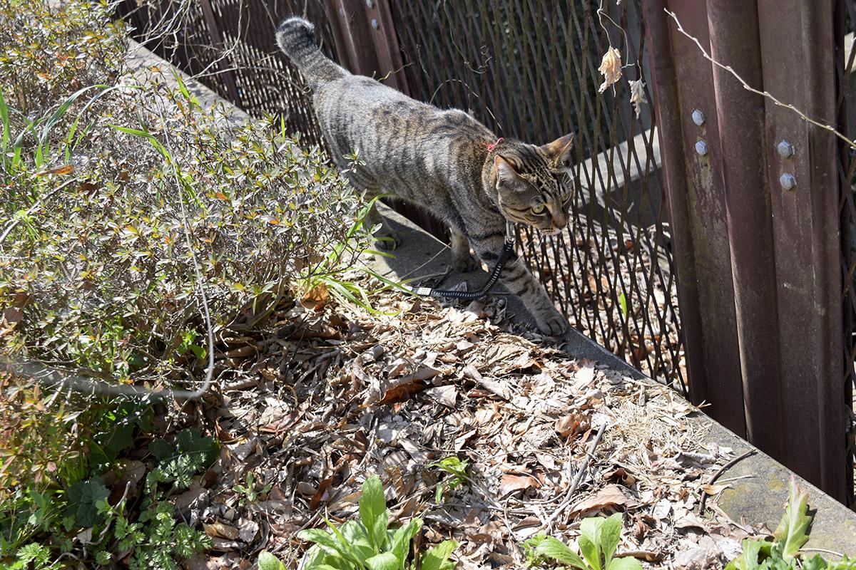 移動するキジトラ猫の虎ノ介