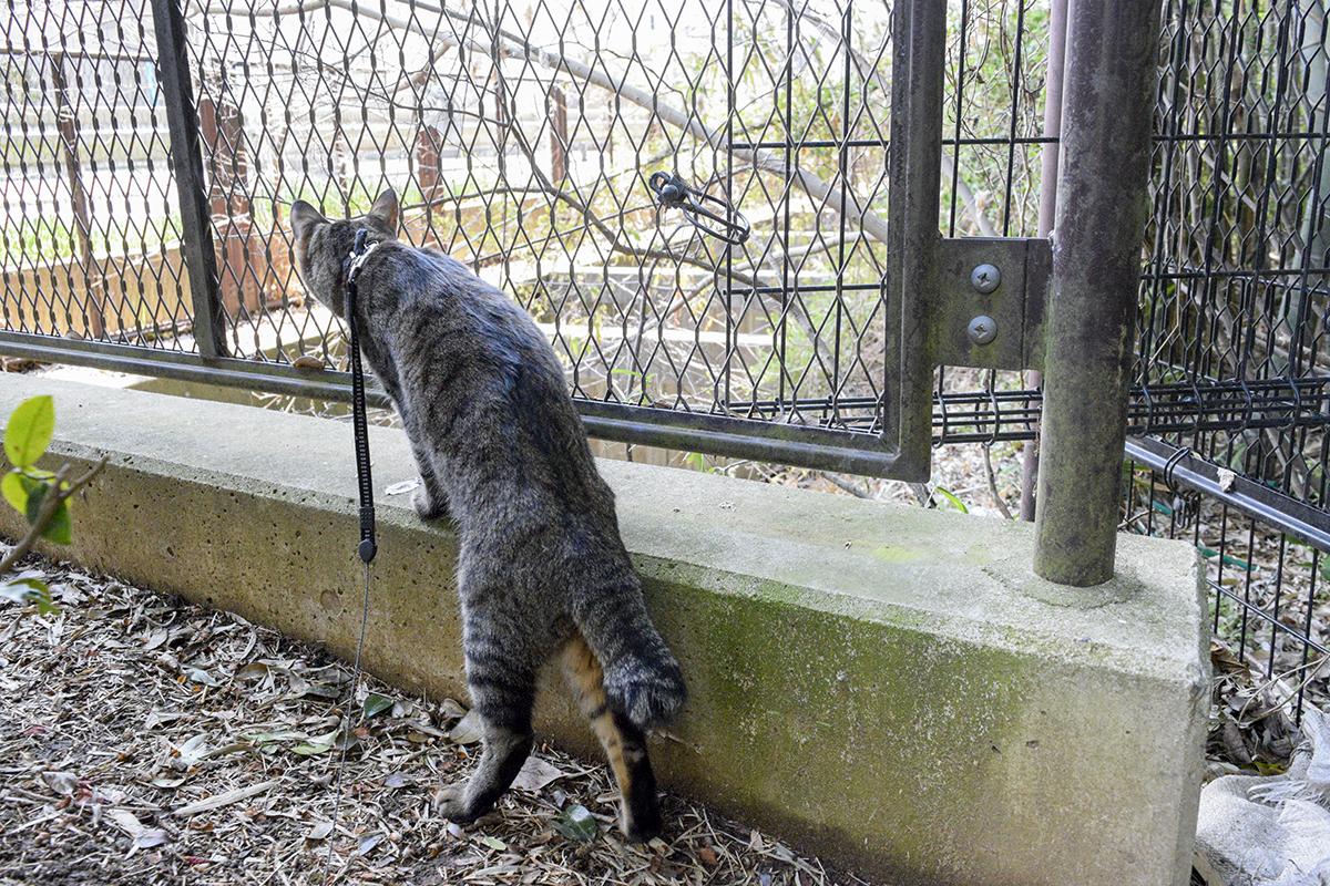 植込みの裏側で鳥を眺めるキジトラ猫の虎ノ介