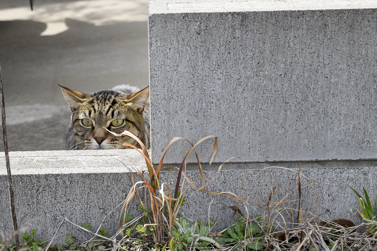 土鳩を狙うキジトラ猫の虎ノ介