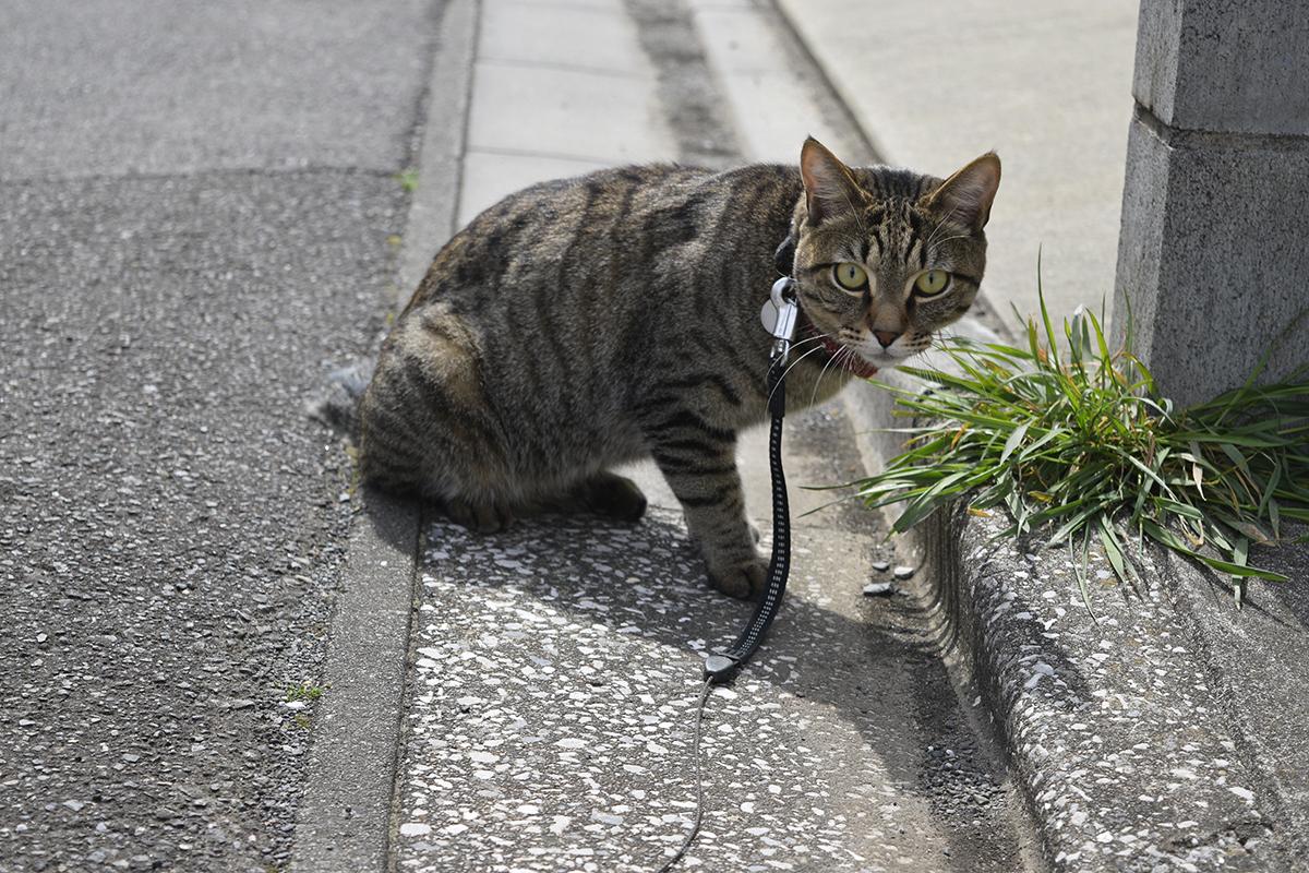 やる気になったキジトラ猫の虎ノ介