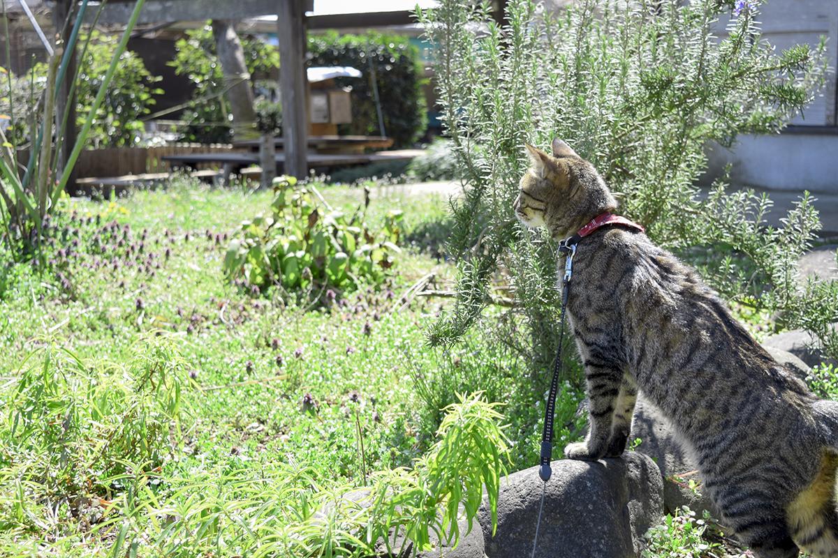 卵屋さんの庭にでるキジトラ猫の虎ノ介