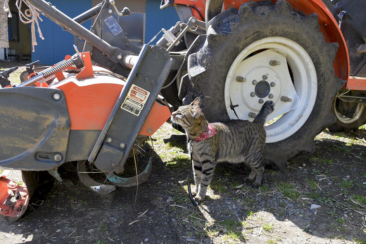 卵屋さんのお庭を散策するキジトラ猫の虎ノ介