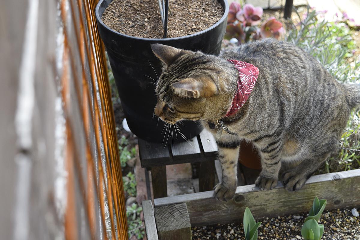 フェンス越しにルナくんを覗くキジトラ猫の虎ノ介