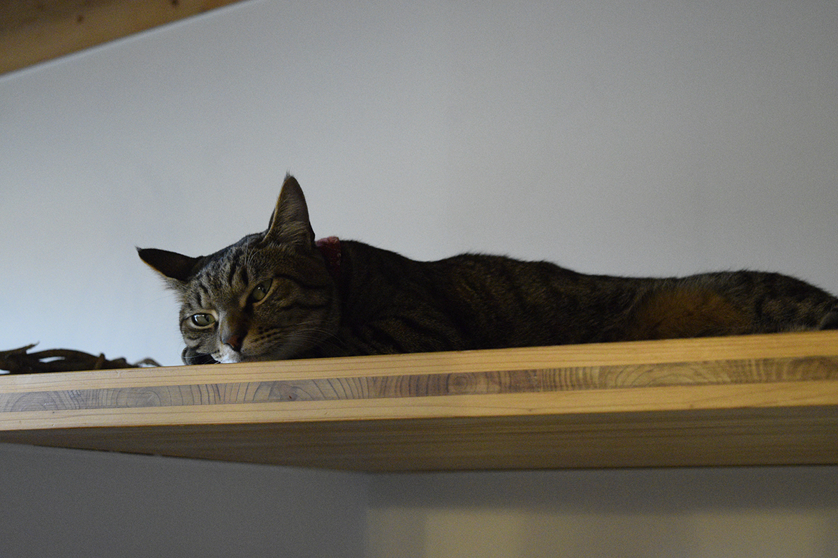 お部屋でまったりなキジトラ猫の虎ノ介