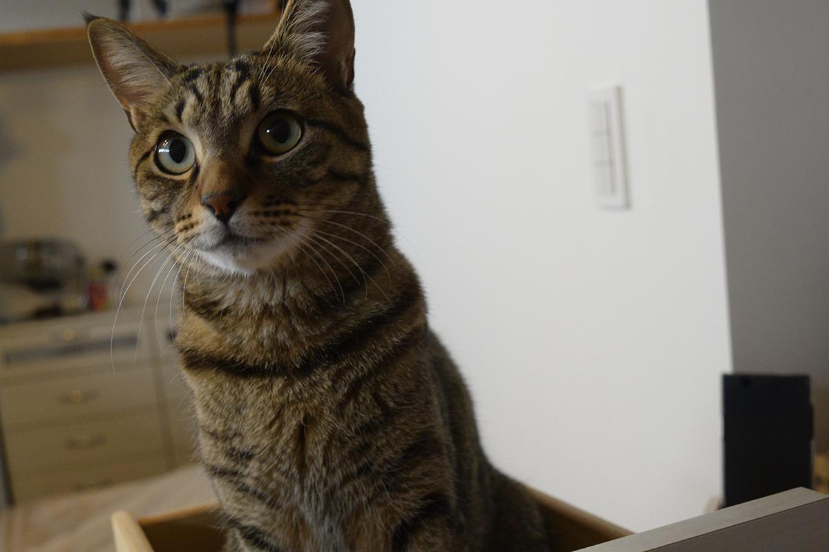 引き出しの中にはいるキジトラ猫の虎ノ介