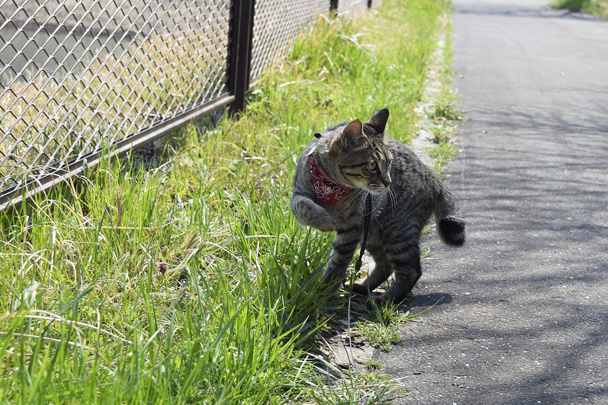 小鳥に反応するキジトラ猫の虎ノ介