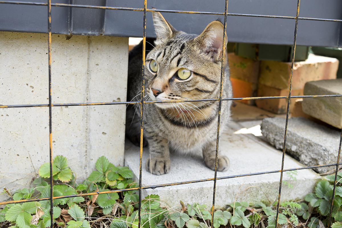 フェンスに気が付くキジトラ猫の虎ノ介