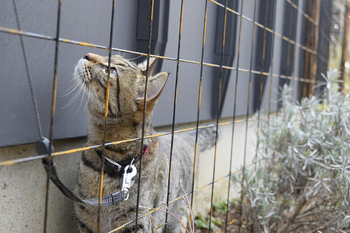 フェンスの隙間を通るキジトラ猫の虎ノ介