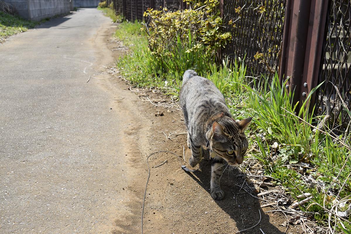 虫を探しながらあるくキジトラ猫の虎ノ介