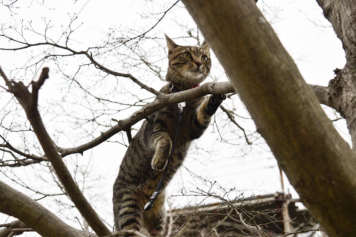 カラスをおいかけて木に登るキジトラ猫の虎ノ介