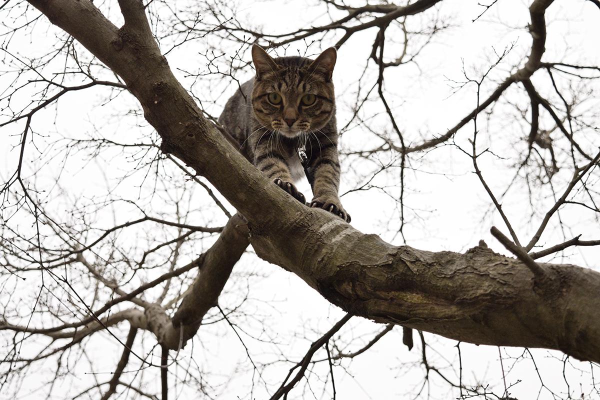 自力で木から降りるキジトラ猫の虎ノ介