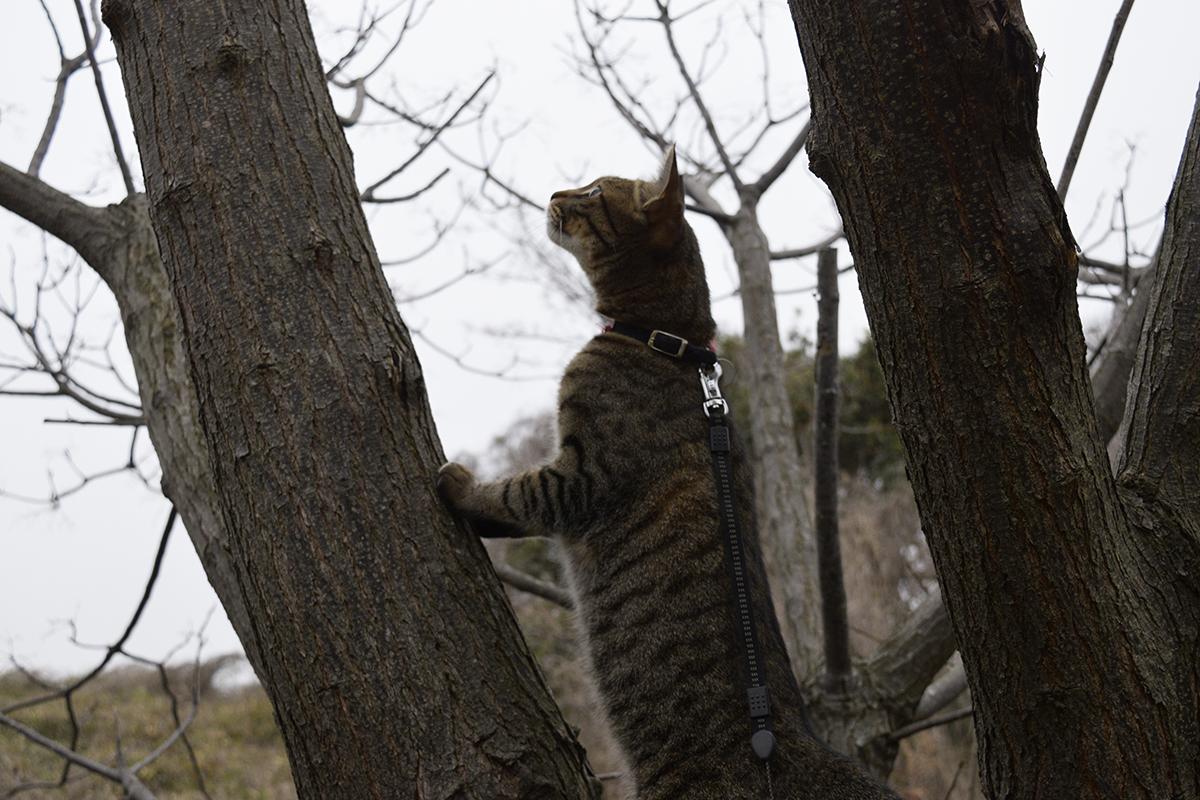 別の木に登るキジトラ猫の虎ノ介