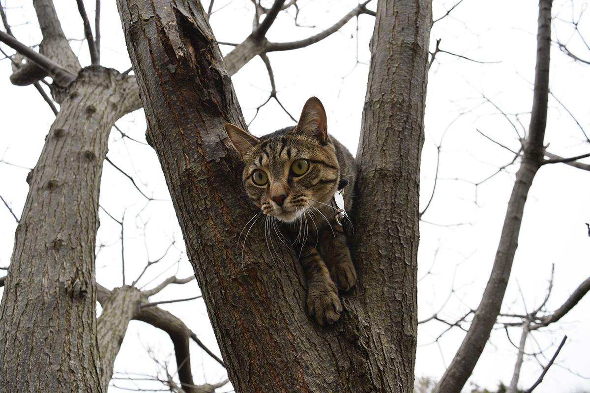 木から降りようとするキジトラ猫の虎ノ介