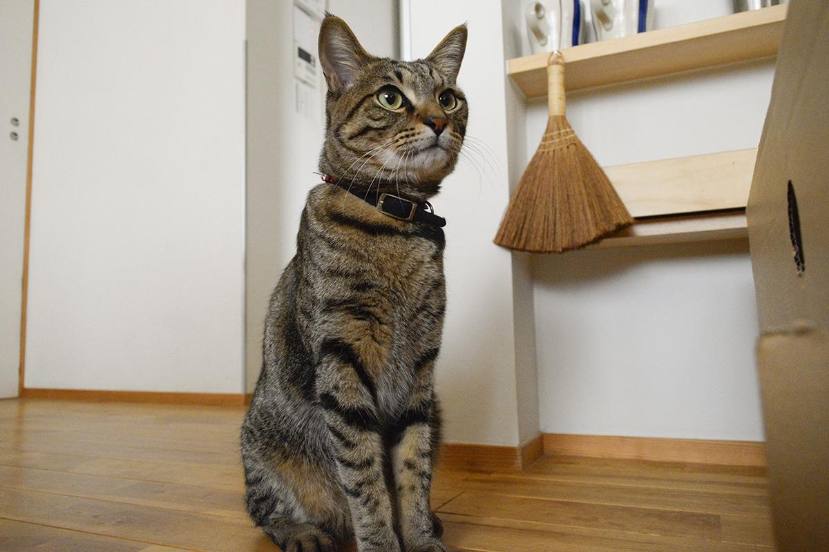 雨でお外にいけないキジトラ猫の虎ノ介
