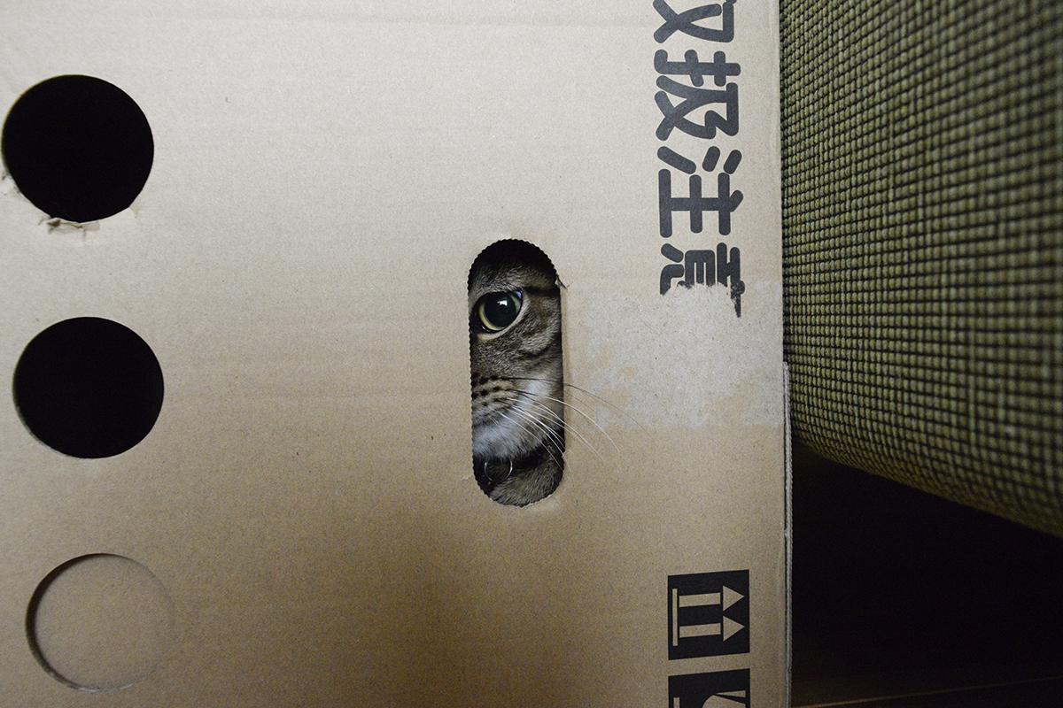 段ボールにはいるキジトラ猫の虎ノ介
