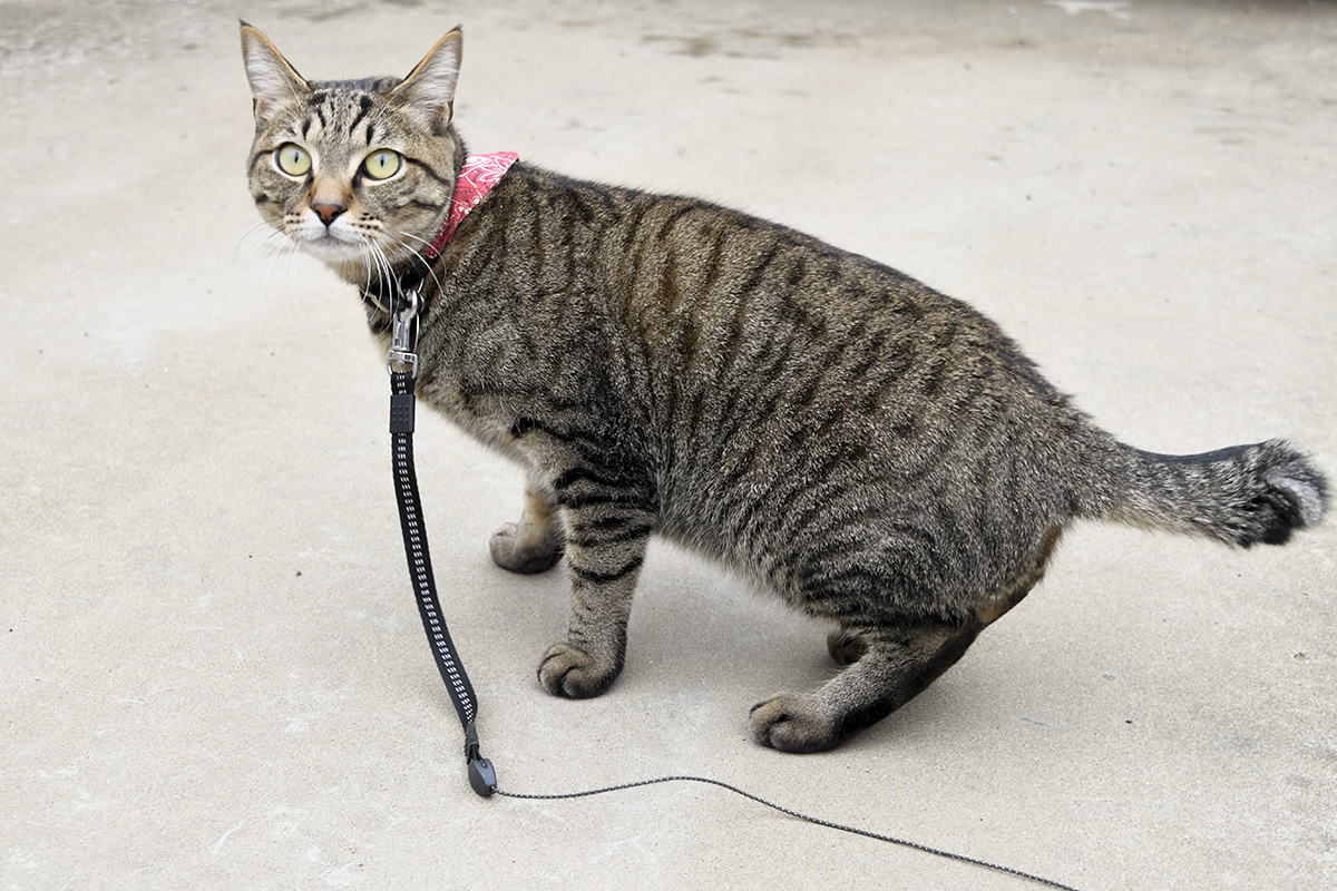 夕方散歩にでたキジトラ猫の虎ノ介
