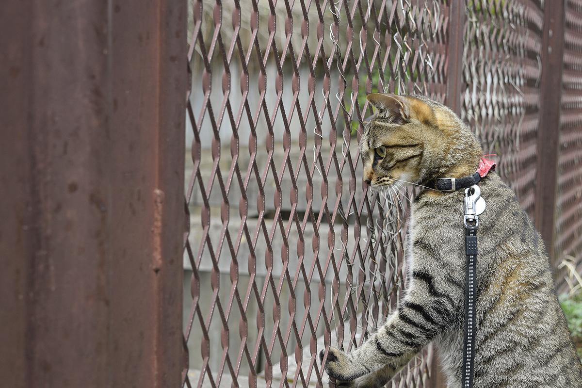 フェンスから水路を覗くキジトラ猫の虎ノ介