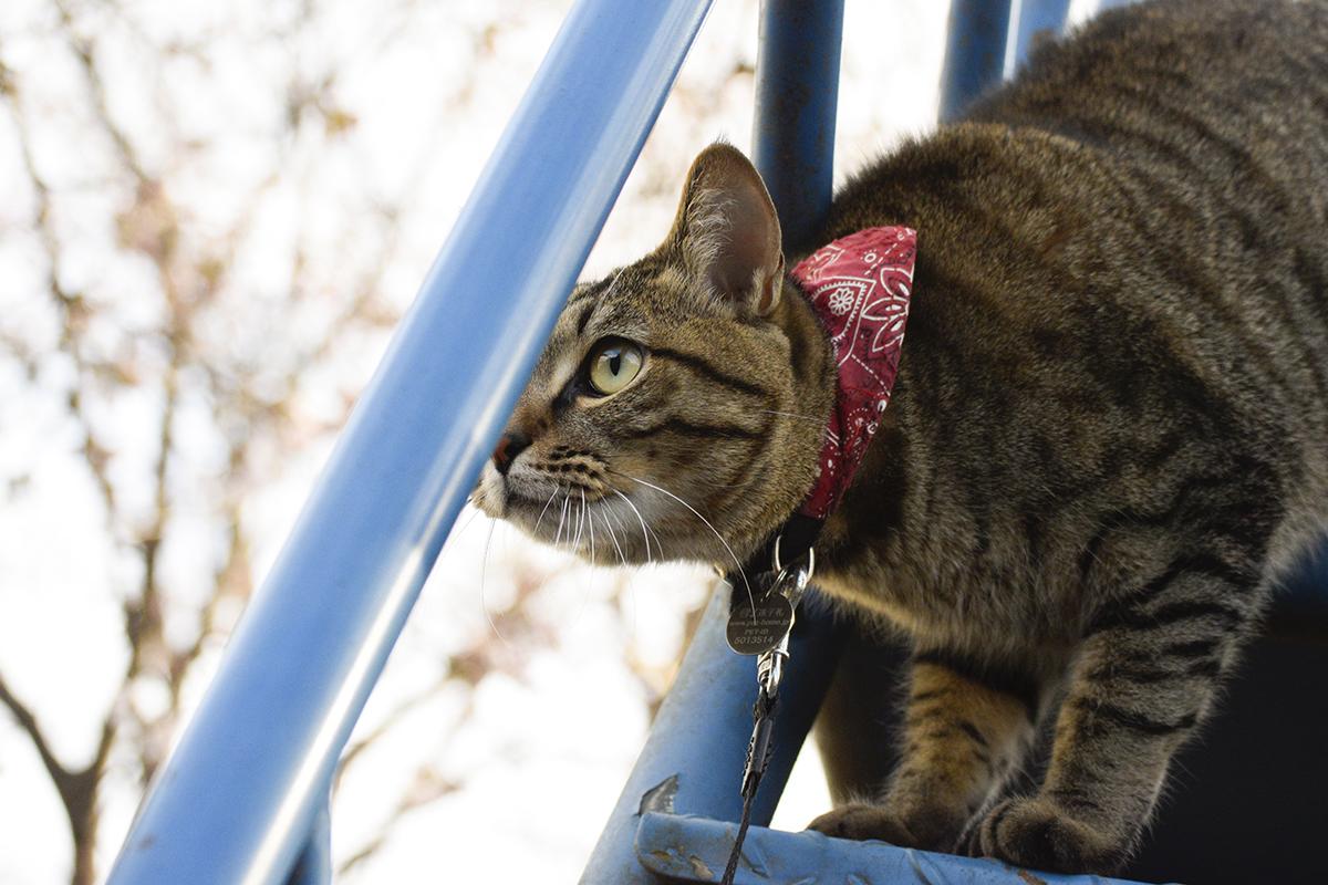 公園にお花見にきたキジトラ猫の虎ノ介