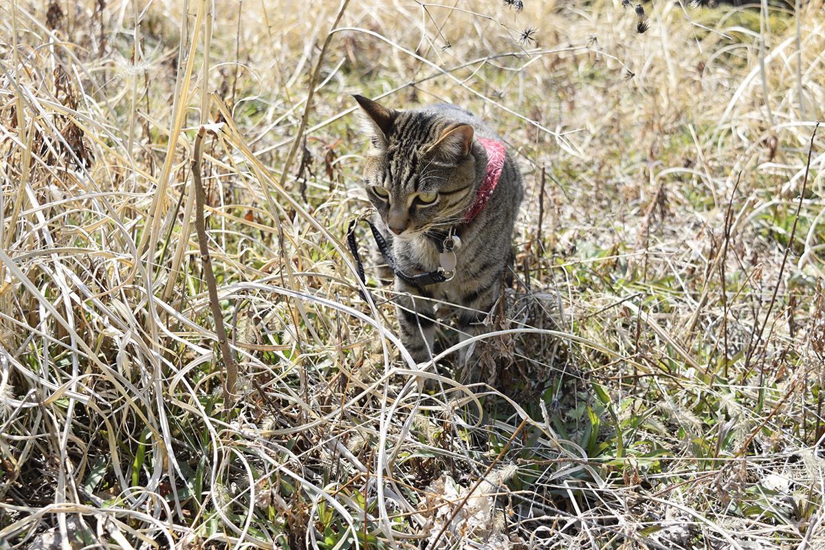 虫を狙うキジトラ猫の虎ノ介
