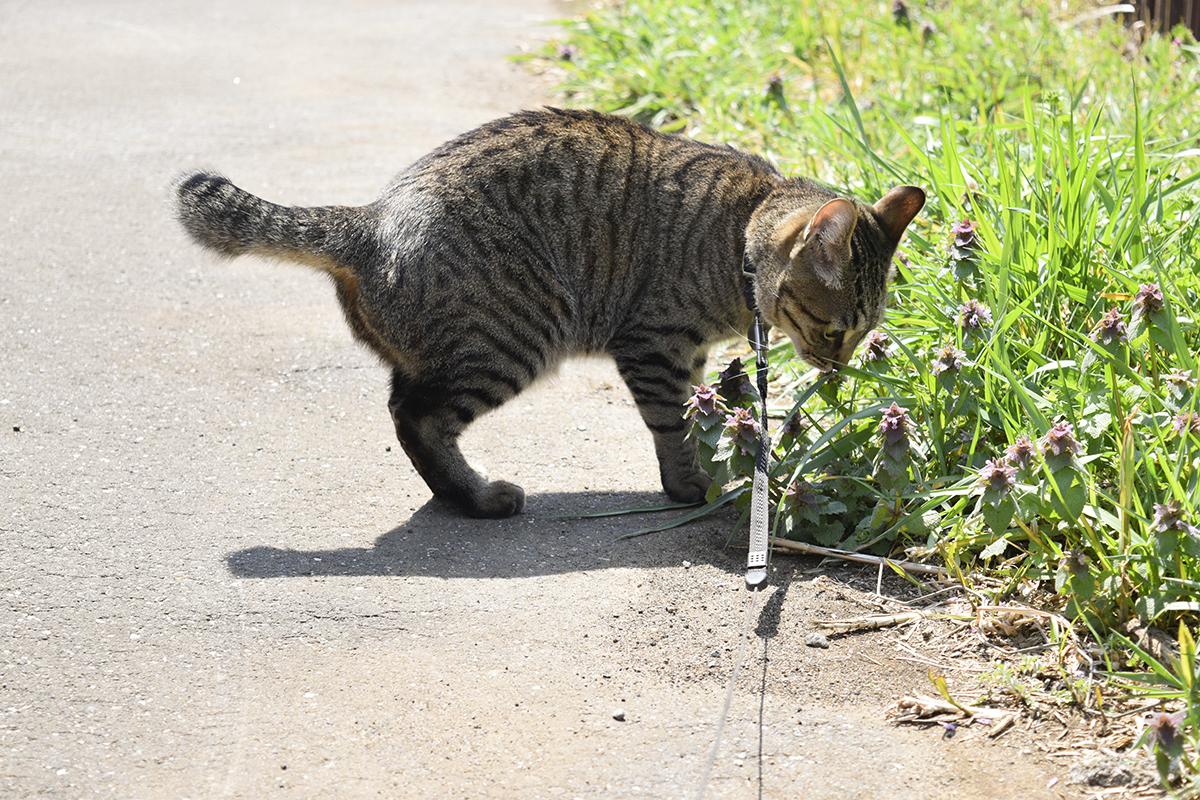 草をチェックするキジトラ猫の虎ノ介