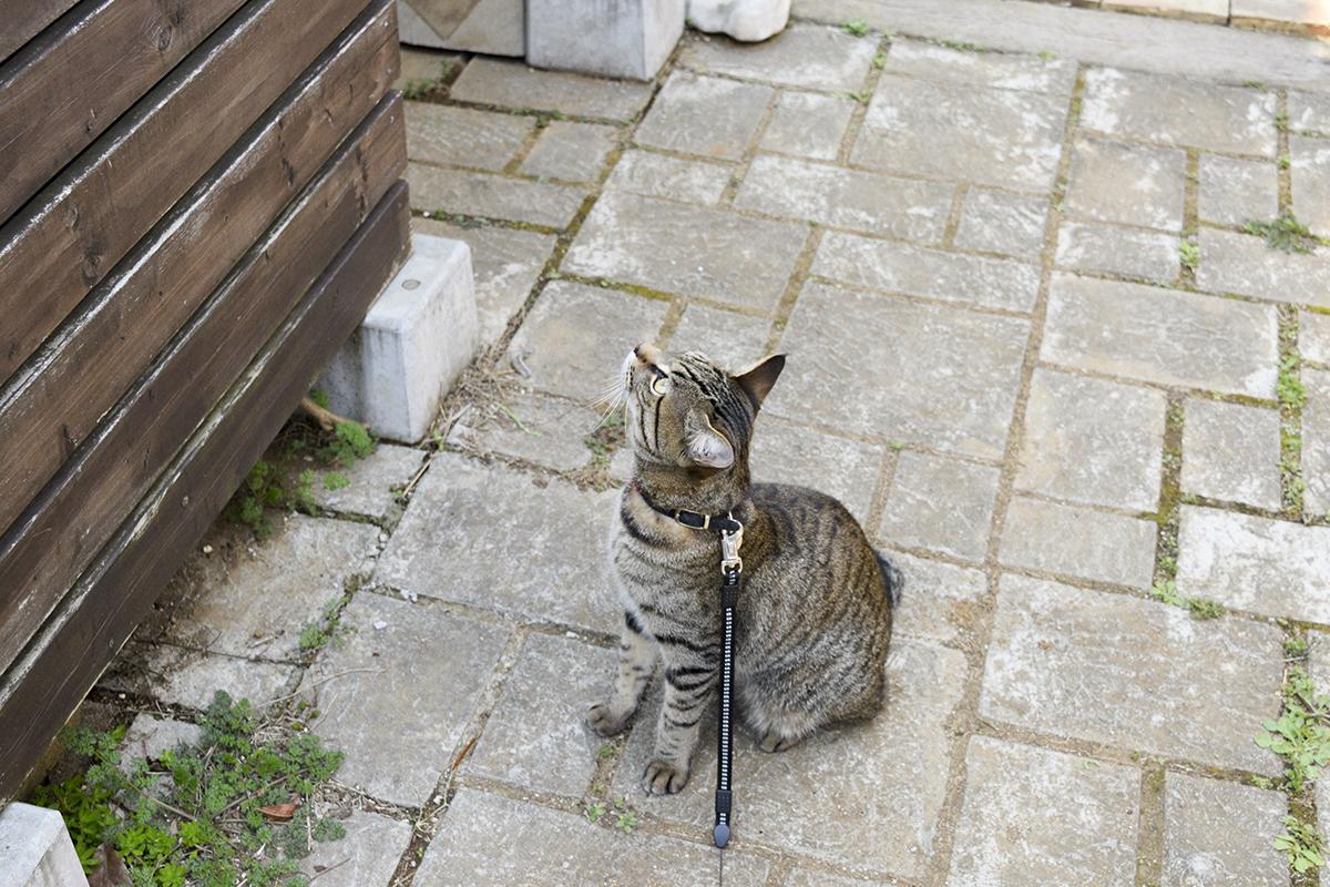 小屋を見上げるキジトラ猫の虎ノ介