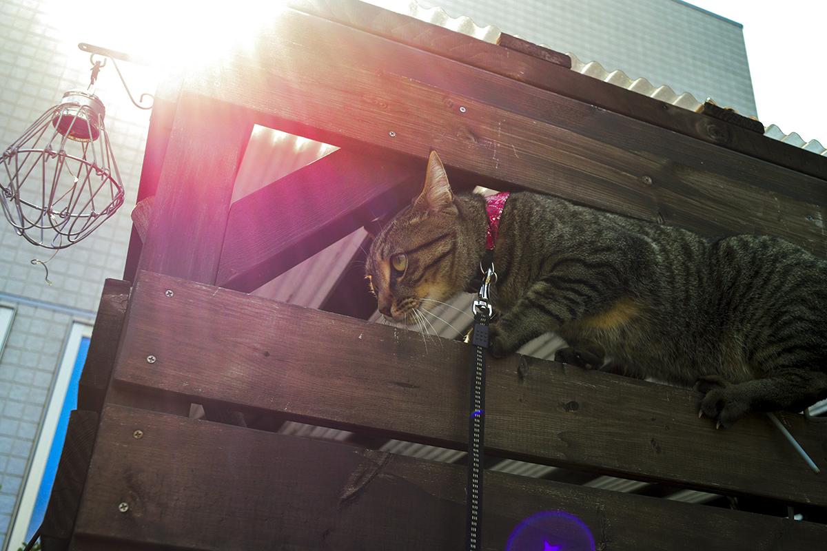小屋のヘリに到達するキジトラ猫の虎ノ介