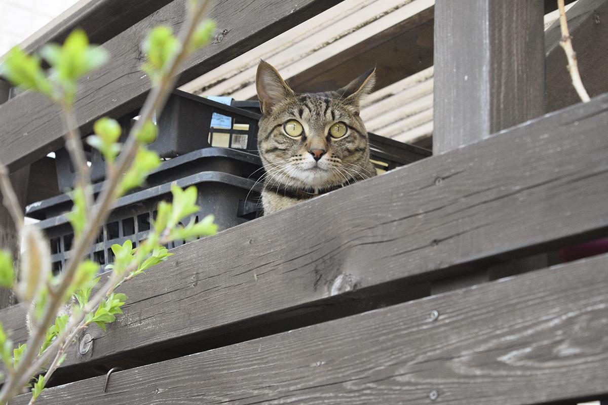 小屋の隙間から覗くキジトラ猫の虎ノ介