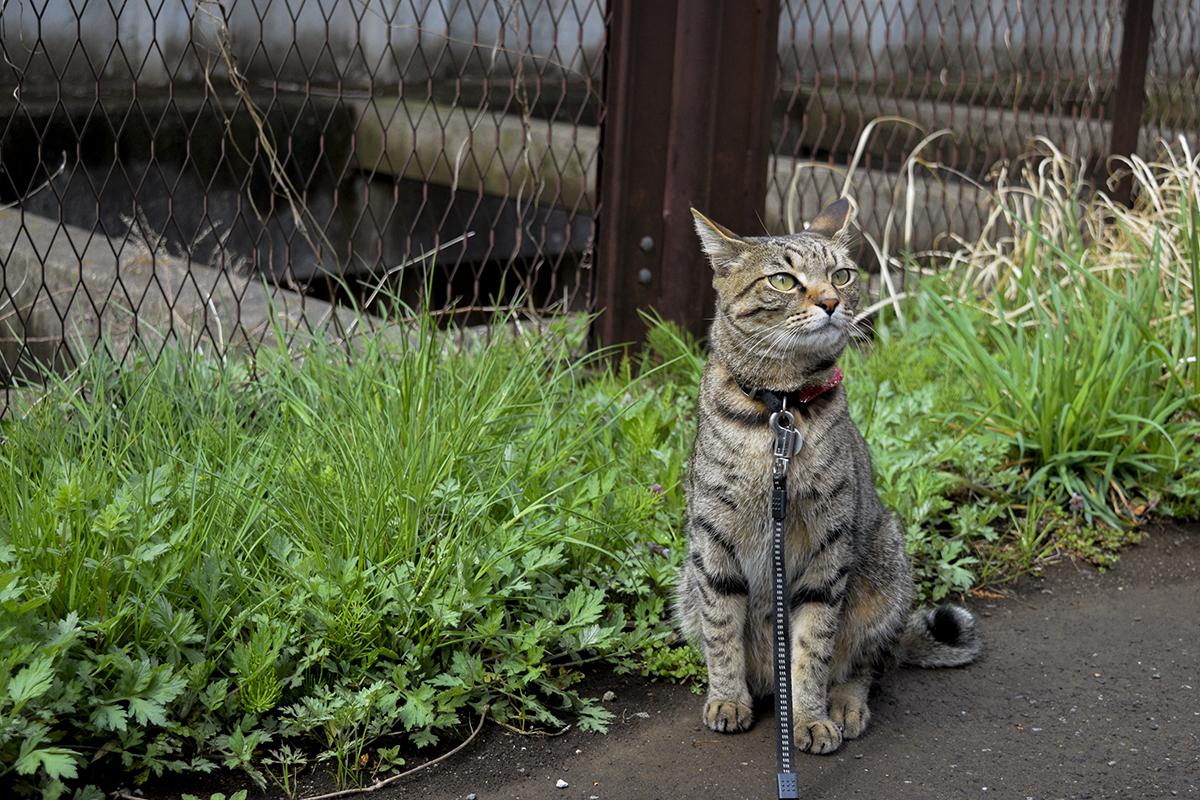 散歩をはじめるキジトラ猫の虎ノ介