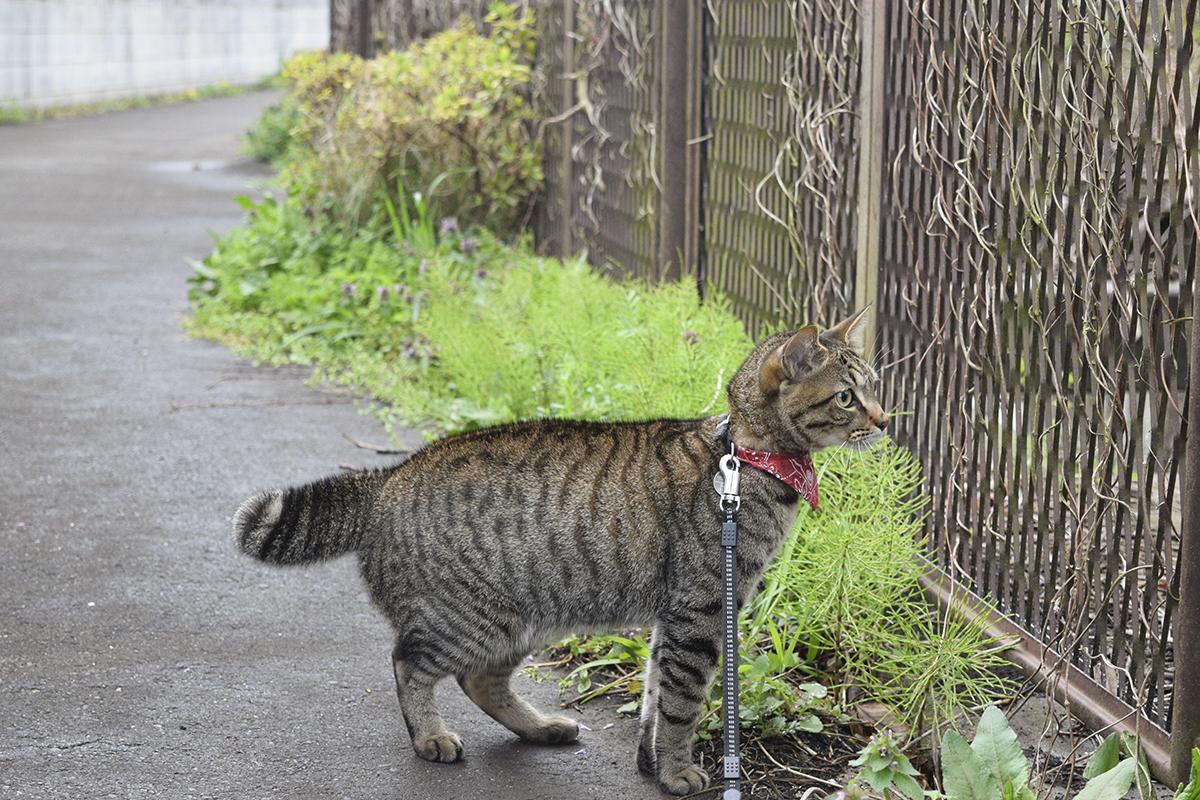 ハクビシンをみつめるキジトラ猫の虎ノ介
